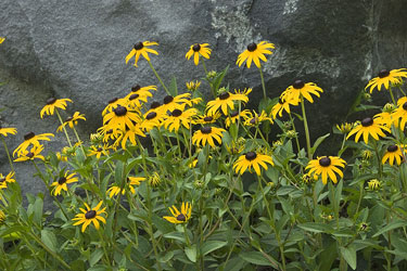 Black-Eyed Susans - Maryland State Flower