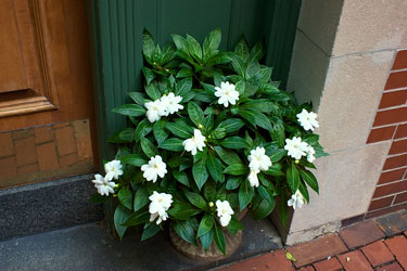 foliage plant at a Beacon Hill, Boston entryway