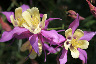 columbines - Colorado state flower