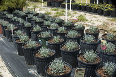 Dianthus plants at a Florida nursery