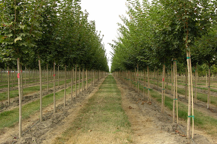 Rows Of Trees At A Tree Nursery In Rural Oregon