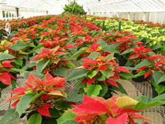 poinsettia plant greenhouse