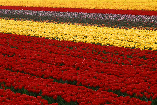tulip field at a nursery